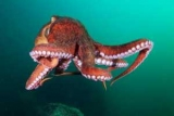 В океані виявили новий вид гігантських восьминогів