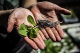Біологи вивели рослина з удосконаленим фотосинтезом
